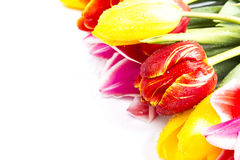 biały tło tulipany Zdjęcia Stock
