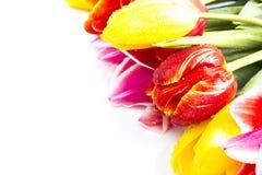 biały tło tulipany Obrazy Stock