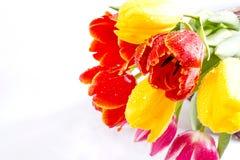 biały tło tulipany Fotografia Stock
