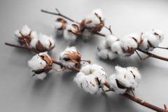 Biały tło z gałąź bawełniana roślina Zdjęcia Stock
