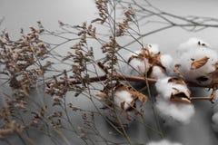Biały tło z gałąź bawełniana roślina Fotografia Stock
