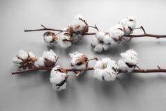 Biały tło z gałąź bawełniana roślina Zdjęcia Royalty Free