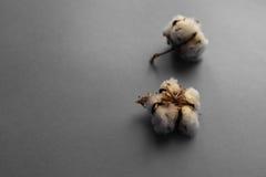 Biały tło z gałąź bawełniana roślina Obrazy Royalty Free