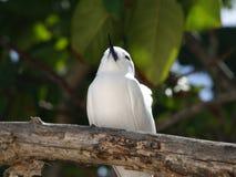 Biały tern, anioła tern, biały noddy (Gygis albumy) Fotografia Stock