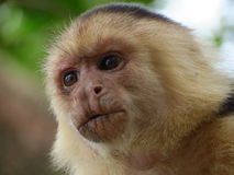 Biały Throated Capuchin Obrazy Royalty Free
