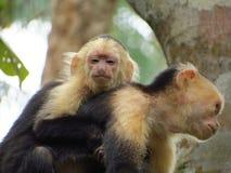 Biały Throated Capuchin Obraz Royalty Free