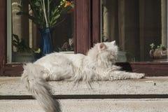 Biały tomcat obraz royalty free