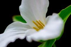 Biały trillium fotografia stock
