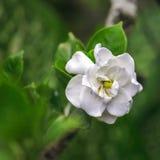 Biały tropikalny kwiat w żarłaczach De Collantes, Kuba Zdjęcia Stock