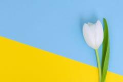 Biały tulipan na błękitnym i żółtym tle Fotografia Stock