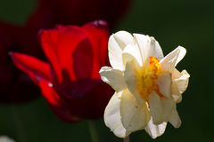 Biały tulipan przeciwstawiający nad czerwonym tulipanem Fotografia Royalty Free