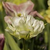Bia?y tulipan z mi?kkim bokeh zdjęcia royalty free