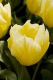 biały tulipanowy żółty Zdjęcia Stock