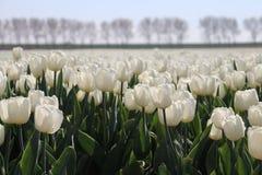 Biały tulipanowy typ &-x22; biały flag&-x22; odizolowywający w świetle słonecznym w rzędach w a Obrazy Royalty Free