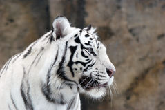 Biały tygrys Zdjęcie Stock