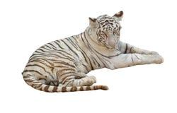 Biały tygrys odizolowywający Fotografia Royalty Free