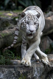 Biały tygrys przegląda tłumu gdy ono relaksuje w its klauzurze przy Singapur zoo w Singapur Zdjęcie Royalty Free
