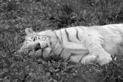 Biały Tygrysi Odpoczywać w Czarny I Biały obraz stock