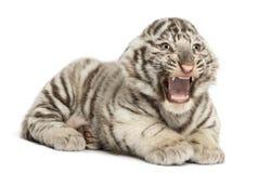 Biały tygrysiego lisiątka huczenie i lying on the beach obraz stock