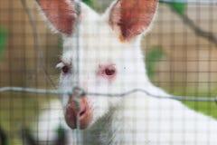 Biały Wallaby fotografia royalty free