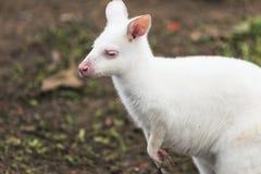 Biały Wallaby obraz stock
