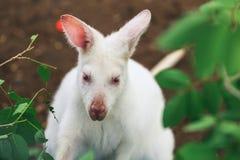 Biały Wallaby zdjęcia royalty free