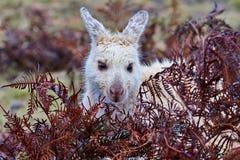 Biały wallaby przy Narawntapu parkiem narodowym w Tasmania zdjęcie royalty free