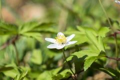 Biały wczesnowiosenny kwiat drewniany anemon obraz royalty free