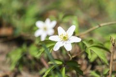 Biały wczesnowiosenny kwiat drewniany anemon zdjęcia stock