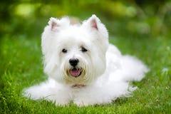 Biały westie pies z zielonym tłem Obrazy Stock