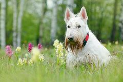Biały, wheaten, Szkocki terier, siedzi na zielonej trawy gazonie Śliczny domowy zwierzę w ogródzie Bielu pies w zielonej trawie P Obraz Stock