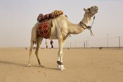 Biały wielbłąd w Kuwait pustyni Zdjęcia Stock