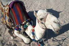Biały wielbłądzi odpoczywać w piasku w pustyni Obrazy Royalty Free