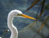 Biały wielki egret obrazy royalty free