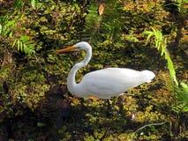 Biały Wielki Egret ptak zdjęcie royalty free