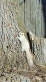 Biały wiewiórczy drzewo fotografia royalty free