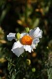 Biały wildflower w kwiacie zdjęcia royalty free