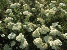 Biały wildflower w wycieczce w wiośnie Obraz Stock