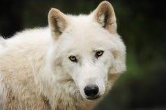 biały wilk obraz stock