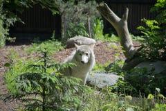 biały wilk przychodził krawędź obraz stock