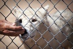 Biały wilk w sanktuarium obwąchania ręce Zdjęcia Royalty Free