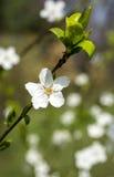 biały wiosna kwiatu okwitnięcie i zieleni liście zieleniejemy tło Zdjęcia Royalty Free