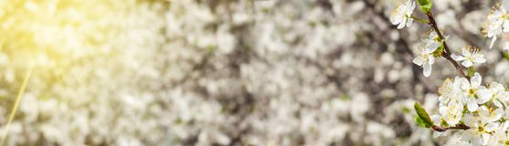 Biały wiosny drzewo, kwitnie kwiaty, szeroki kąt Kwietni biali kwiaty horyzontalni z dodatkową przestrzenią obok głównego przedmi fotografia royalty free