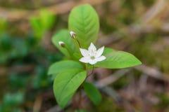 Biały wiosny starflower obraz royalty free