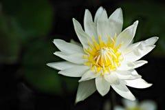 Biały wodnej lelui kwiat w świetle słonecznym obraz royalty free