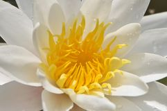 Biały wodnej lelui kwiat z koloru żółtego centrum fotografia stock