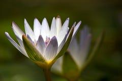Bia?y wodnej lelui kwiatu otwarcie zdjęcia royalty free