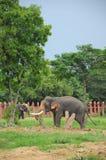 biały z kości słoniowej słoń Fotografia Royalty Free