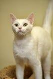 Biały z włosami kot zdjęcia royalty free