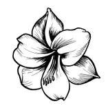 Biały zarysowany wektorowy kwiat z czernią inked linię royalty ilustracja